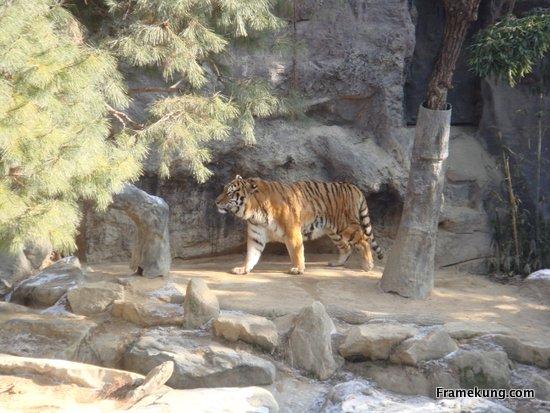 พี่เสือครับ ตัวใหญ่มากๆ